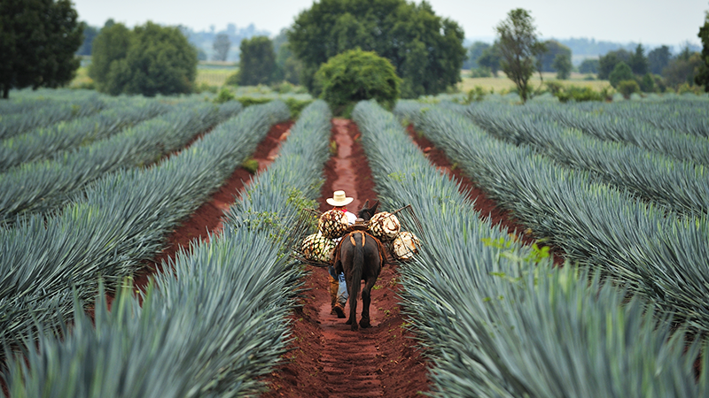 farmer leads donkey through fields in mexico