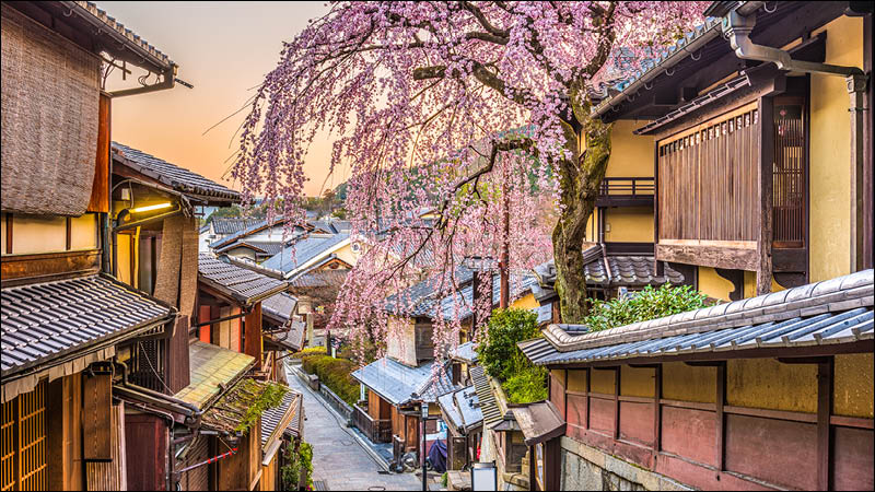 cherry blossom trees bloom over japanese homes