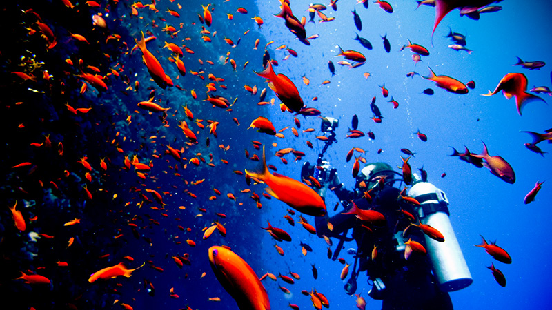 a scuba diver is surrounded by a school of bright orange fish