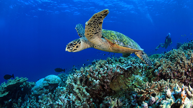 a sea turtle swims above a coral reef in hawaii
