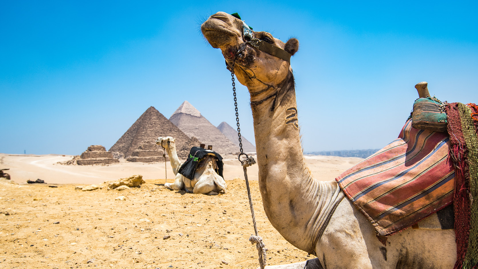 two saddled camels rest in front of the pyramids of giza
